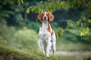 Close up portrait of Brittany spaniel female dog standing in park.