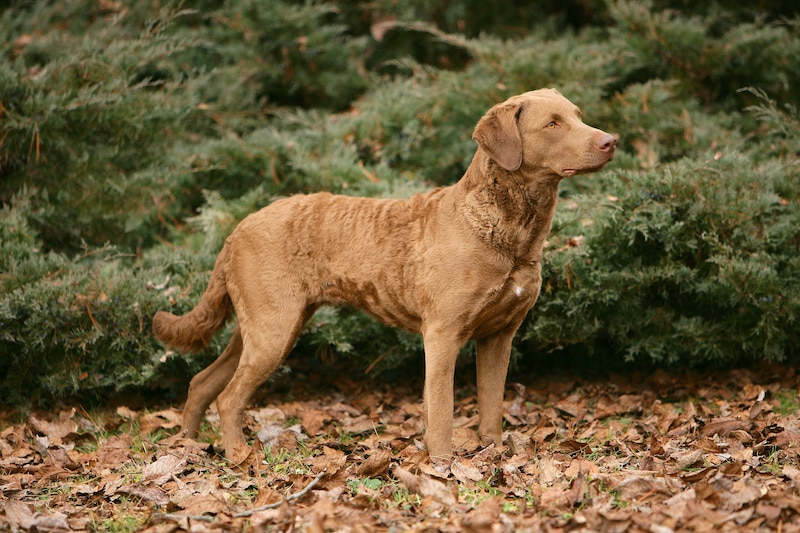 Portrait of typical Chesapeake Bay Retriever dog in the forest