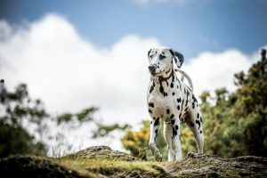 Dalmatian dog standing on green grass with trees in background.