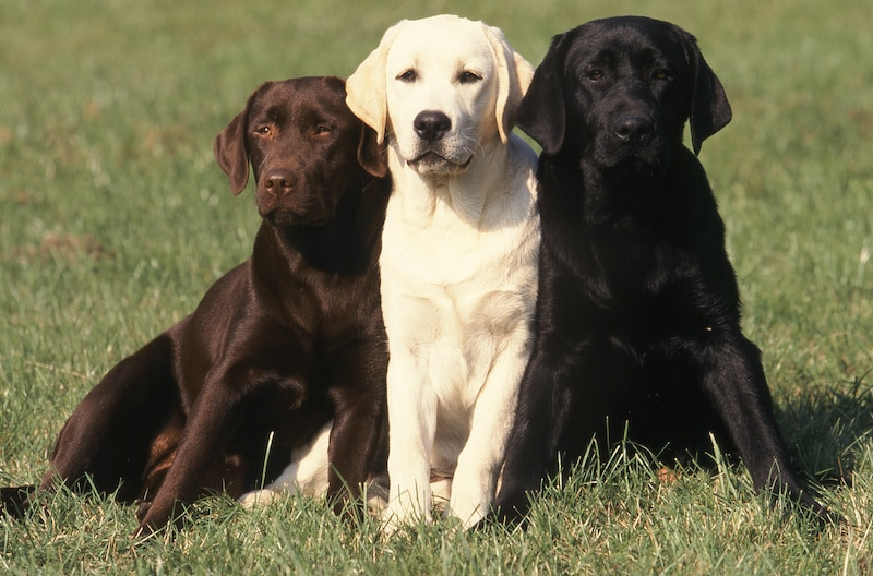 Chocolate, White and Black Labrador dogs sitting next to each other.