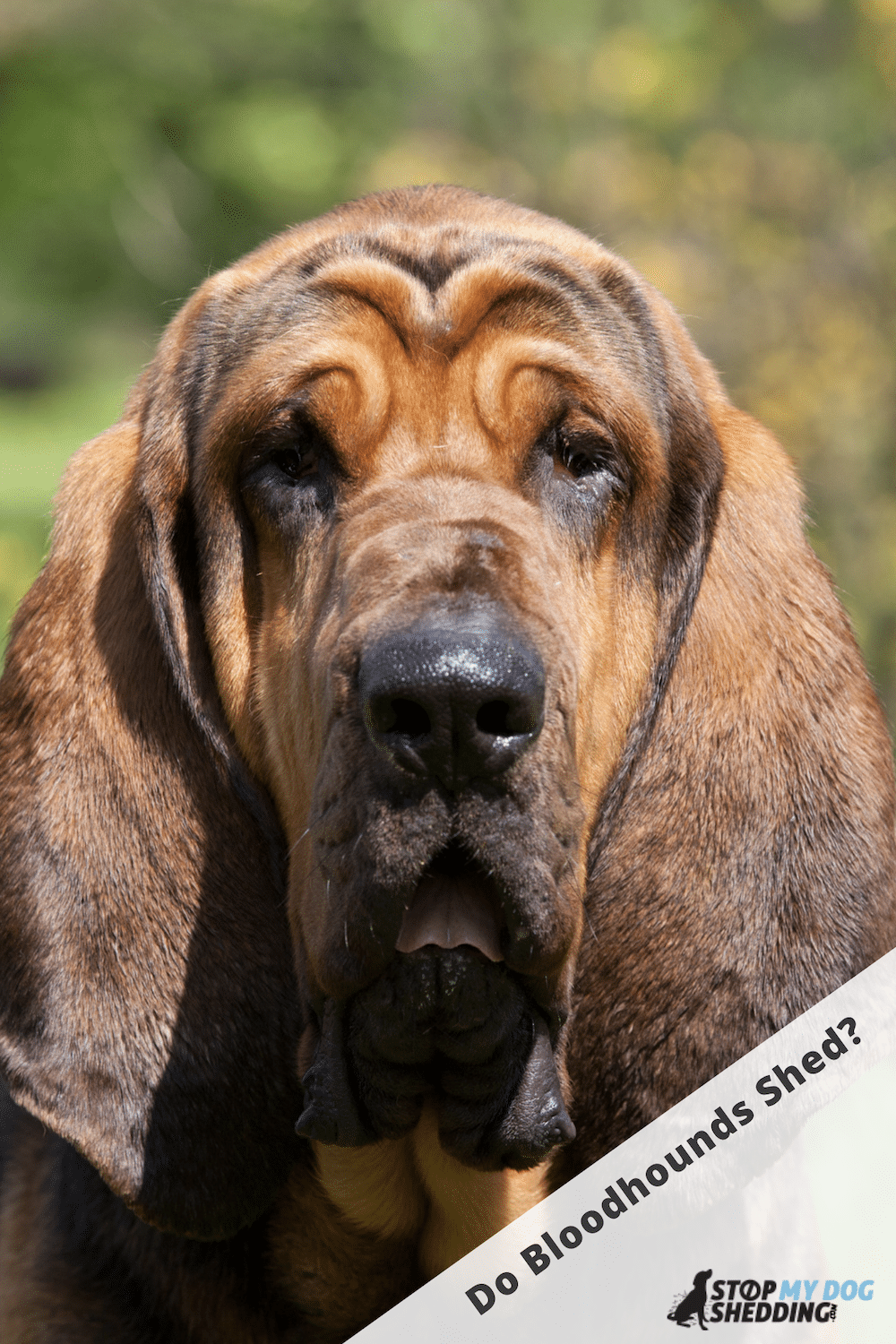 Do Bloodhounds Shed Lots? (Shedding Guide)