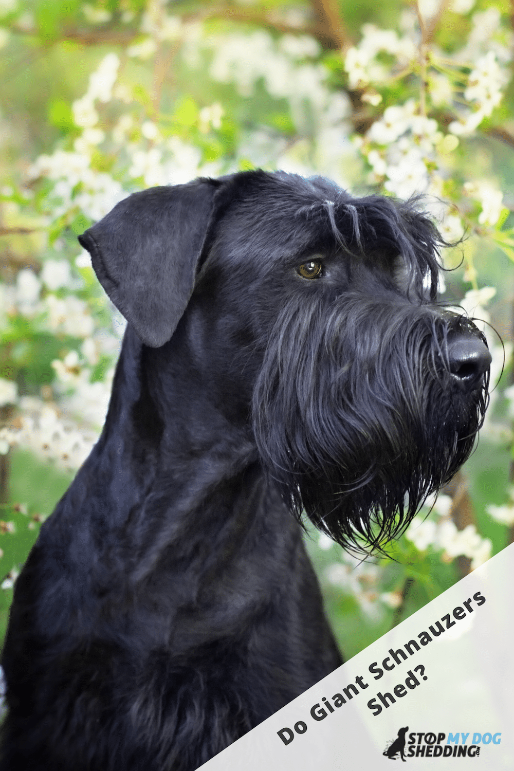 Do Giant Schnauzers Shed Much?