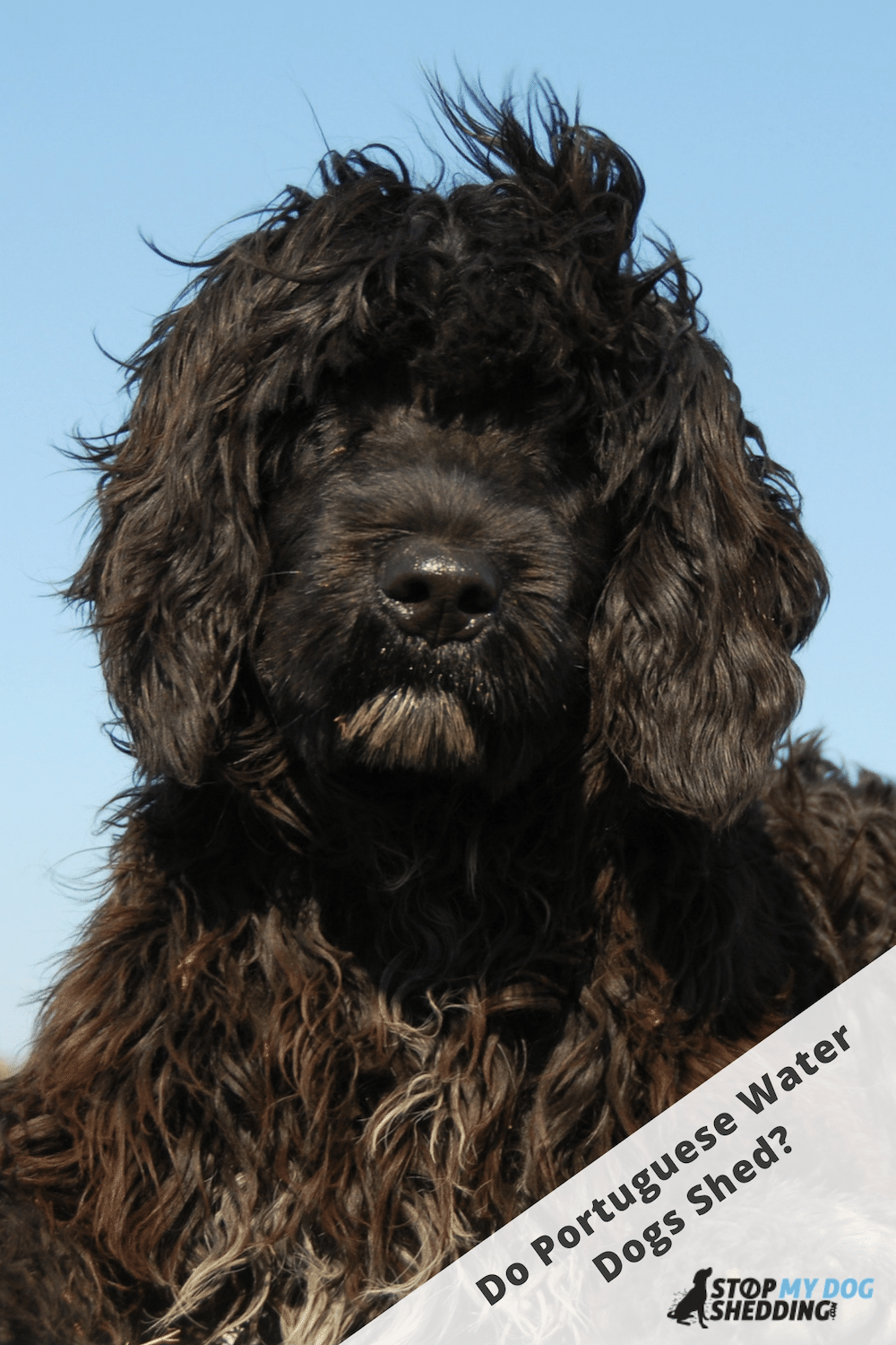 Do Portuguese Water Dogs Shed? (Portie Shedding)