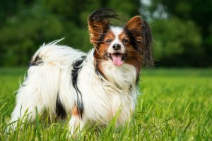 Papillon dog standing in long green grass with trees in background.