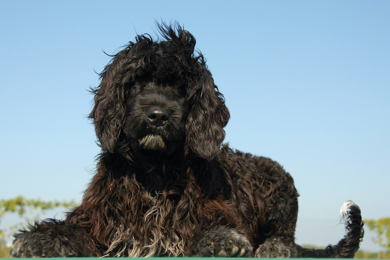 Portuguese Water Dog laying down on a green table with blue sky in background.