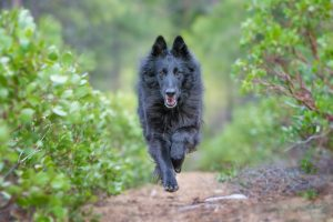 Belgian Sheepdog running on dirt path surrounded by nature.