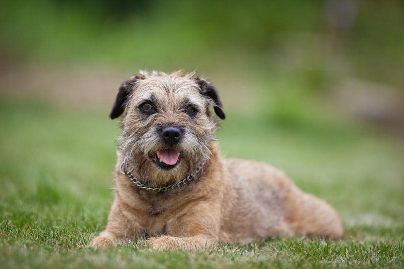 Border Terrier laying on grass.