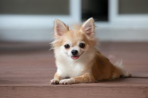 Chihuahua laying on timber floor.