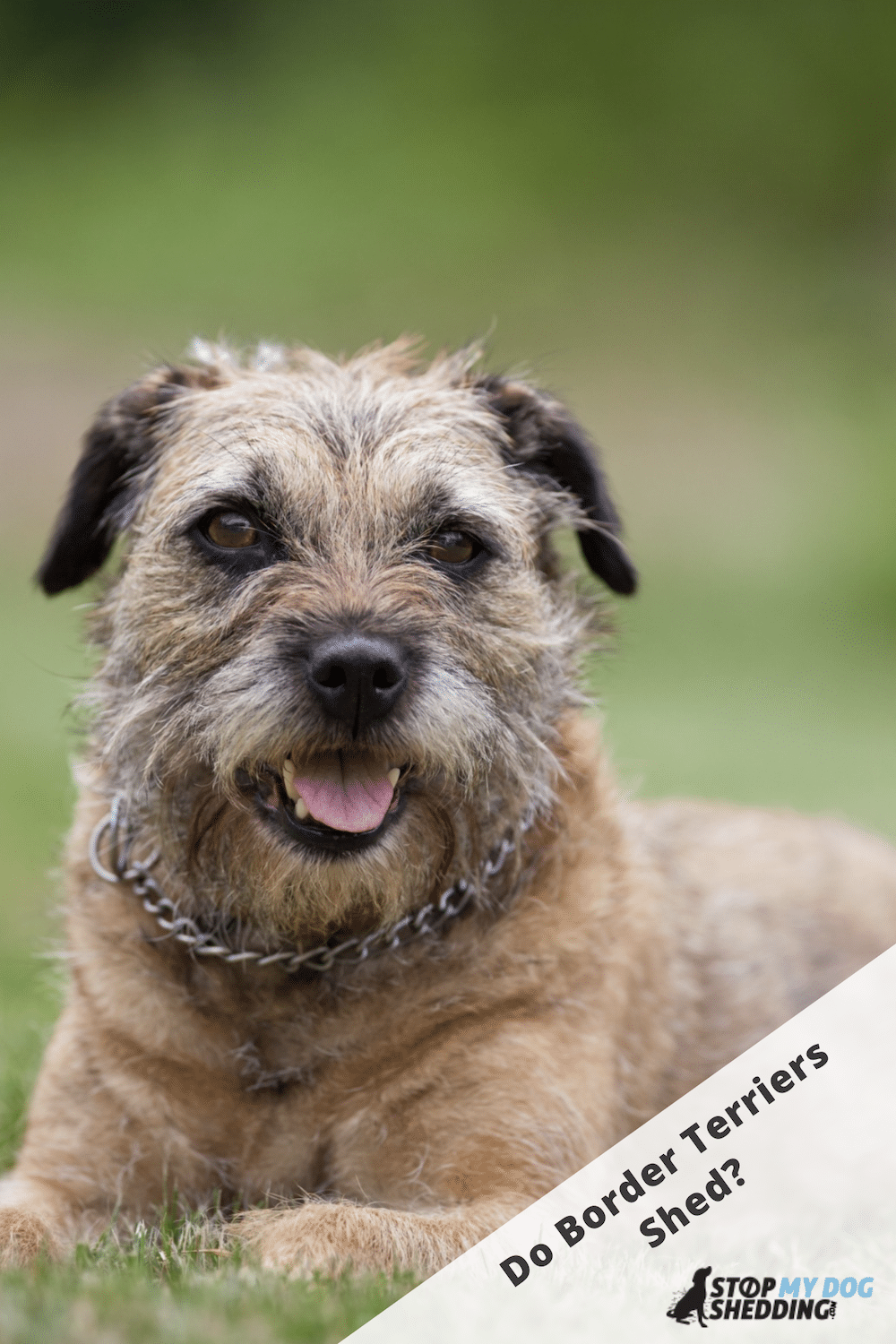 Do Border Terriers Shed? (Shedding Guide)