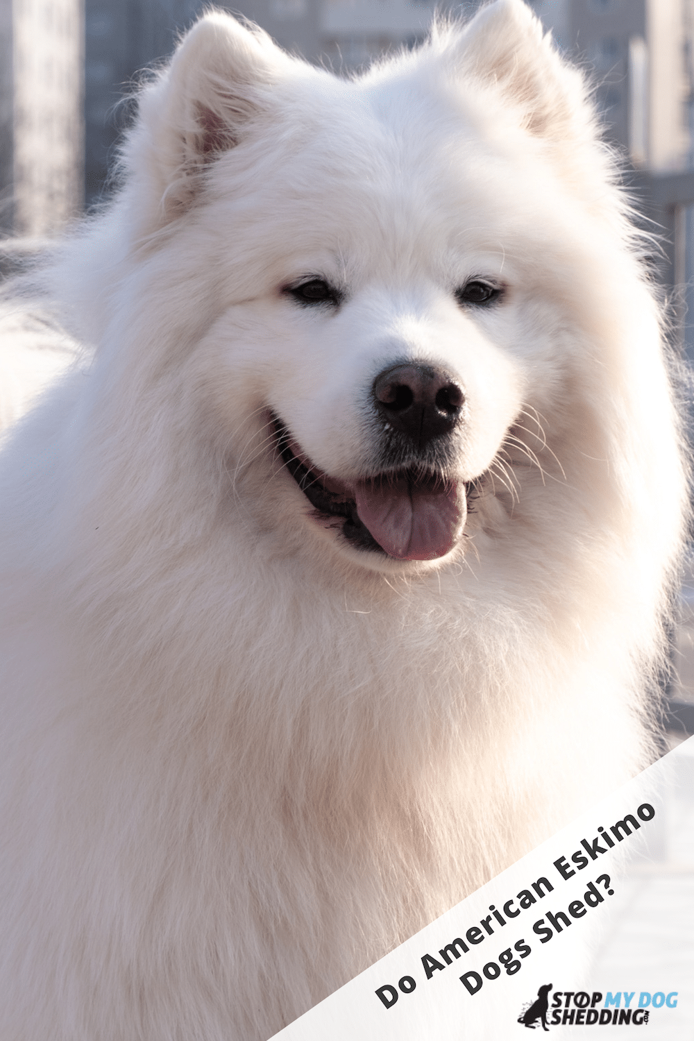 American Eskimo Dog Shedding - What to Expect!