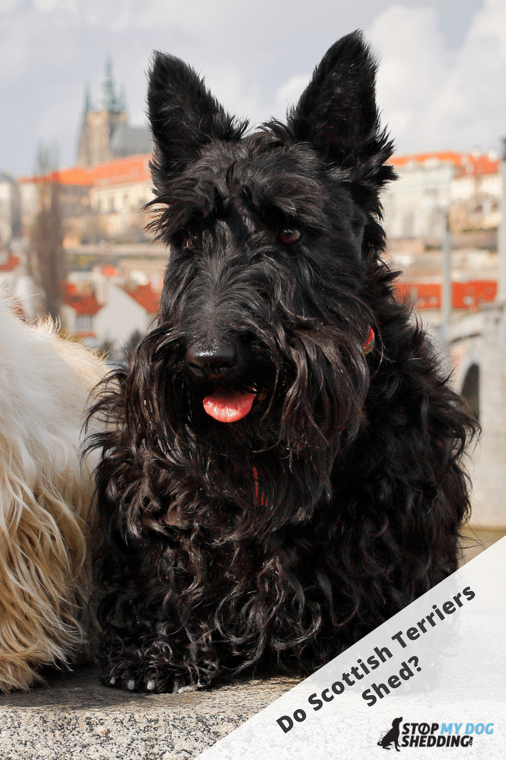 Do Scottish Terriers Shed Lots? (Scottie Shedding)