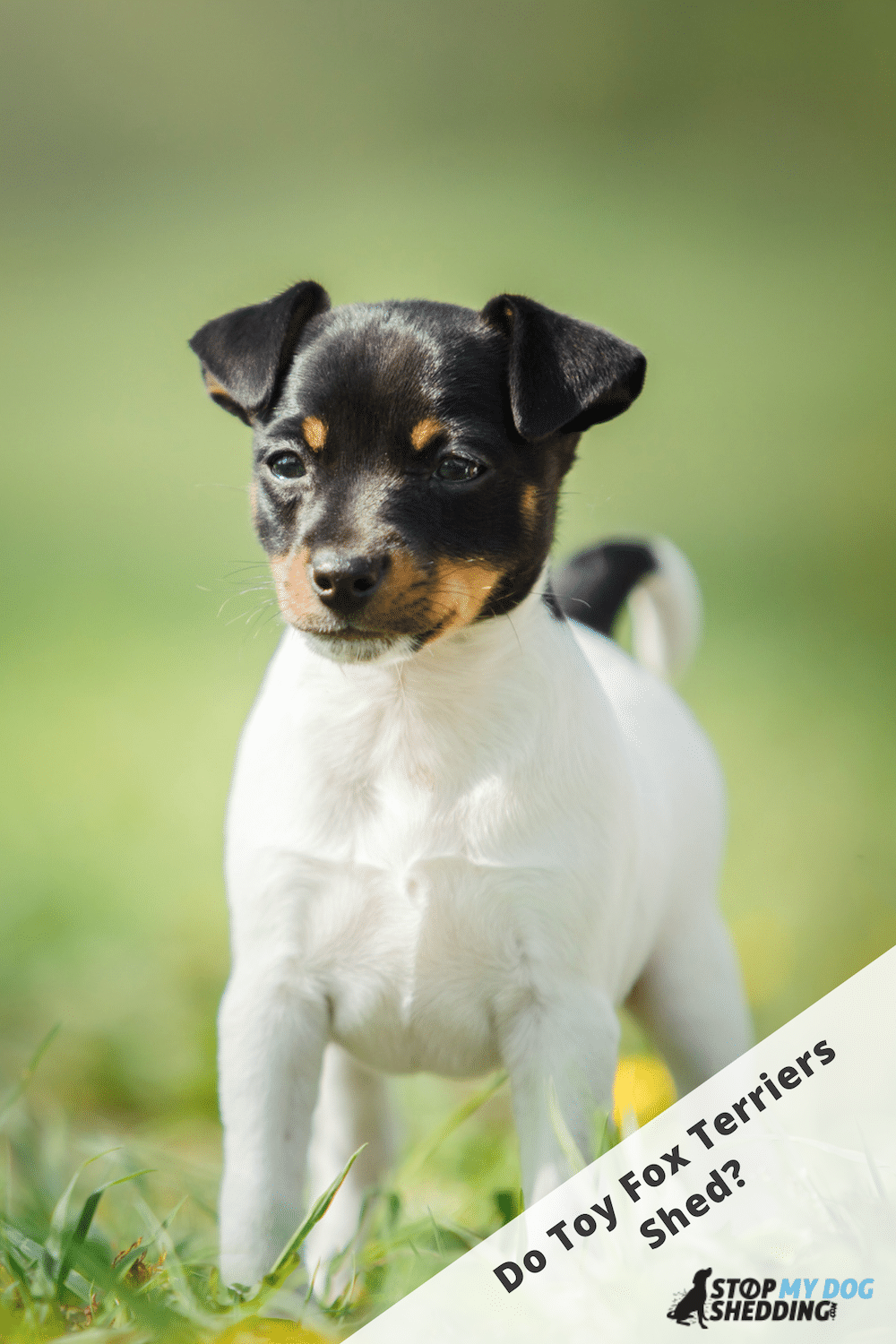 How Much Do Toy Fox Terriers Shed?