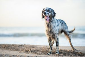 English Setter standing on the beach.