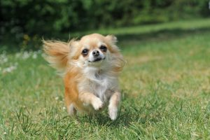 Longhaired Chihuahua running outside.