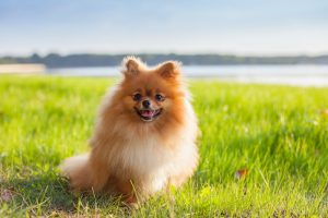 Pomeranian puppy sitting on green grass with water and trees in background.