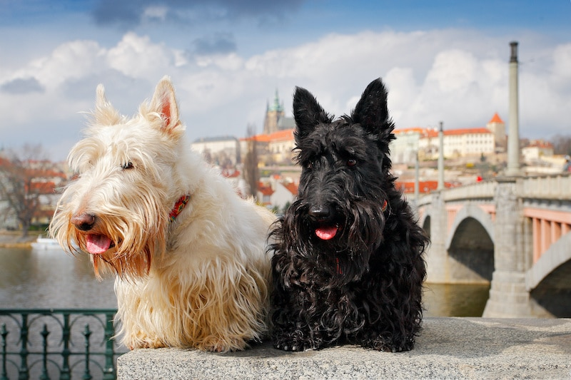 Pair of black and white Scottish Terriers sitting on bridge in Europe with a castle in the background.