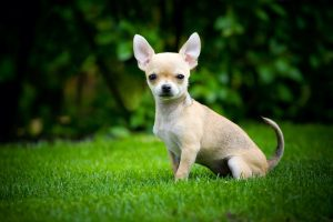 Shorthaired Chihuahua sitting on grass outside.