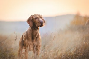 Vizsla dog in autumn outside in the field during sunset.