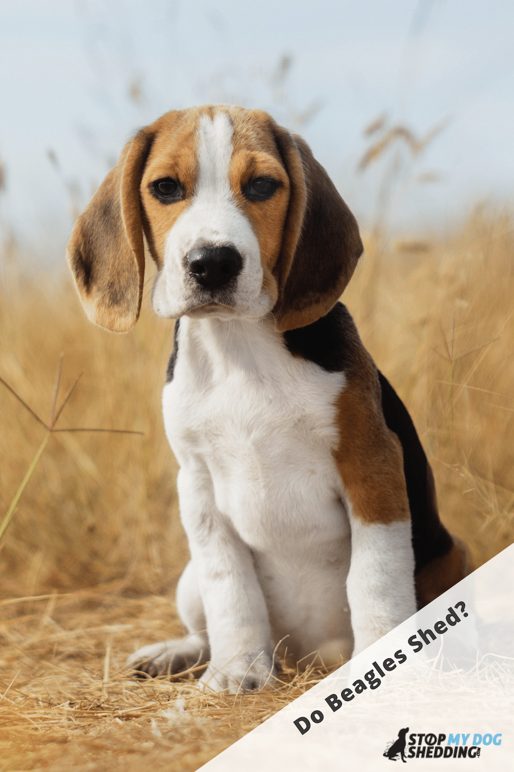 Do Beagles Shed Much? (Shedding Guide)