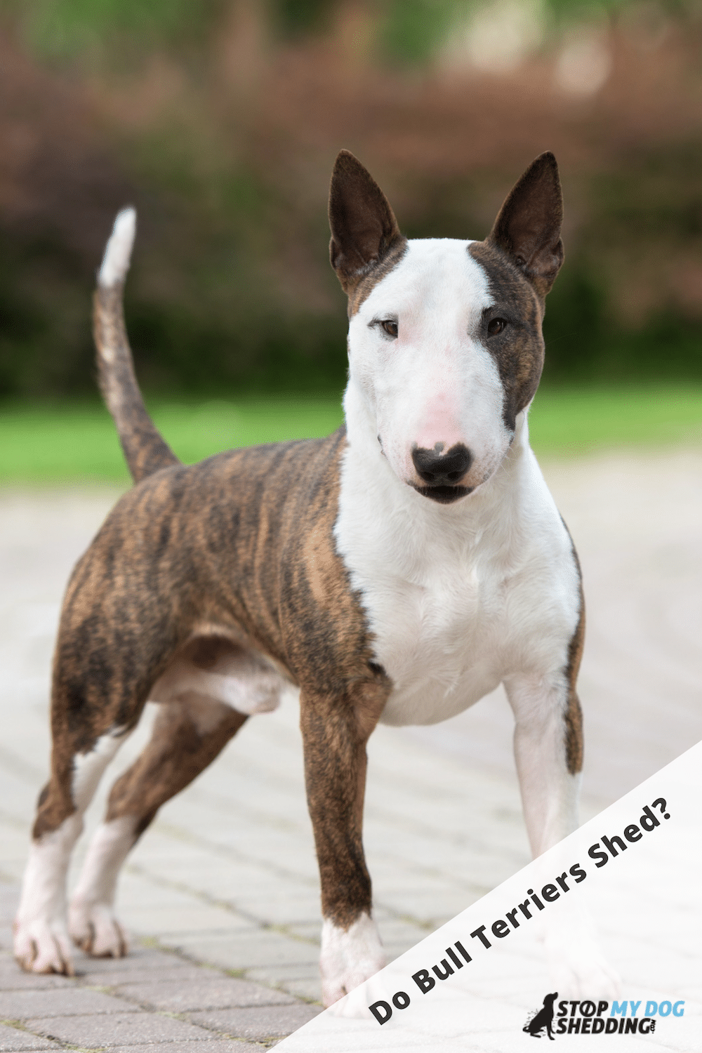 Do Bull Terriers Shed Much?