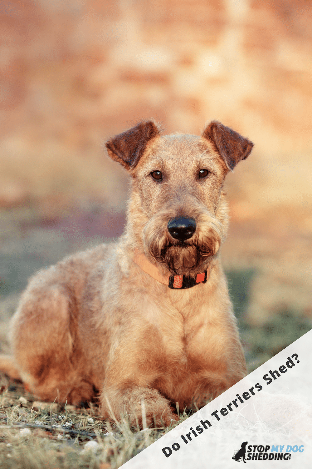 Irish Terrier Shedding (All You Need to Know)