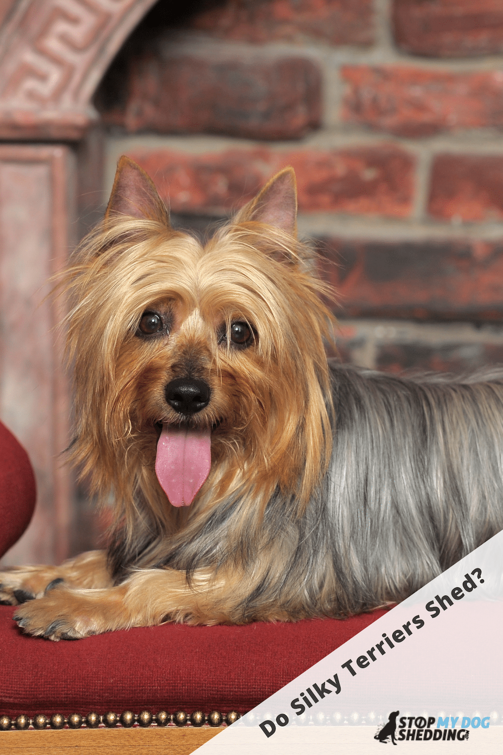 Do Silky Terriers Shed? (Silky Shedding Guide)