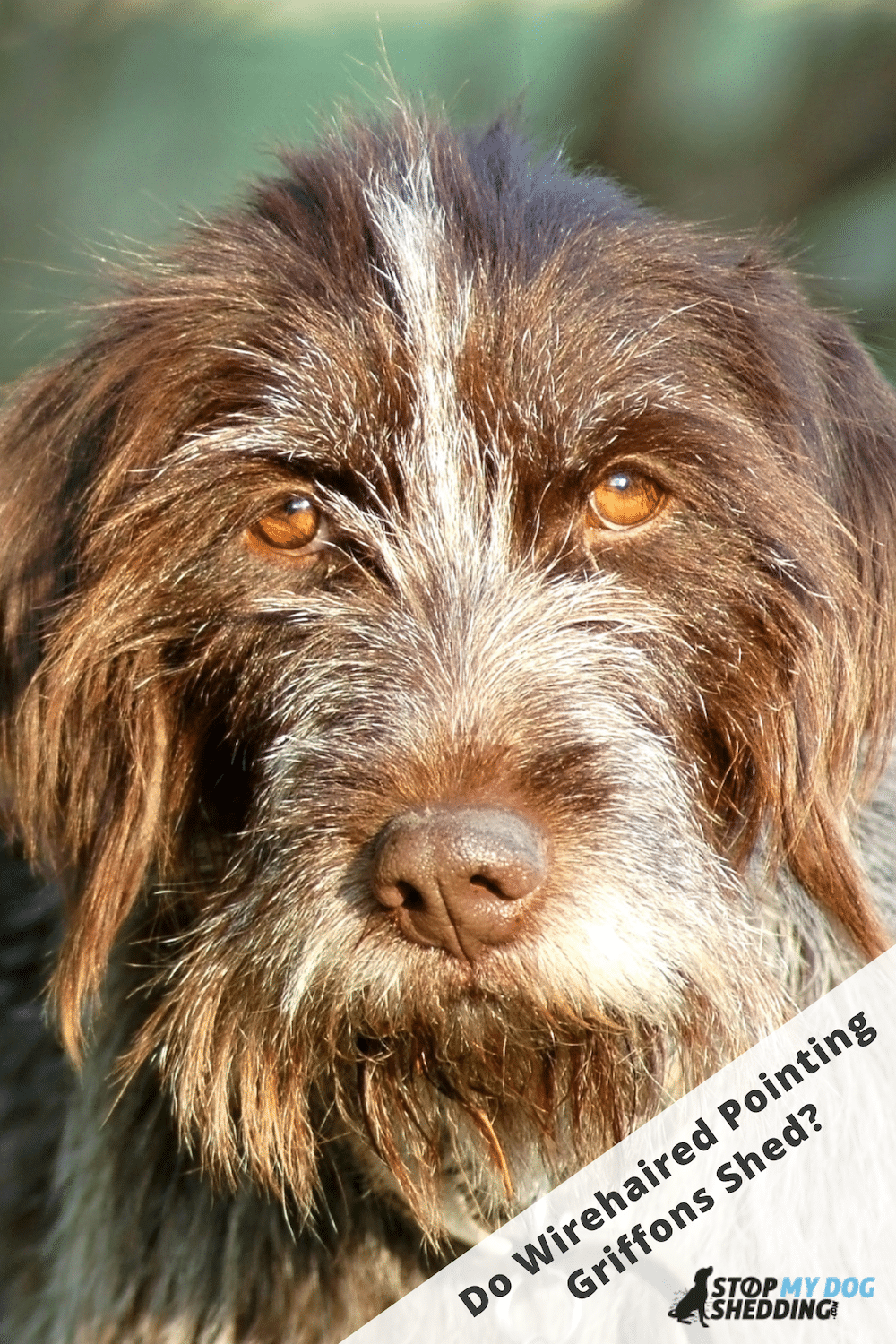 Wirehaired Pointing Griffon Shedding Guide