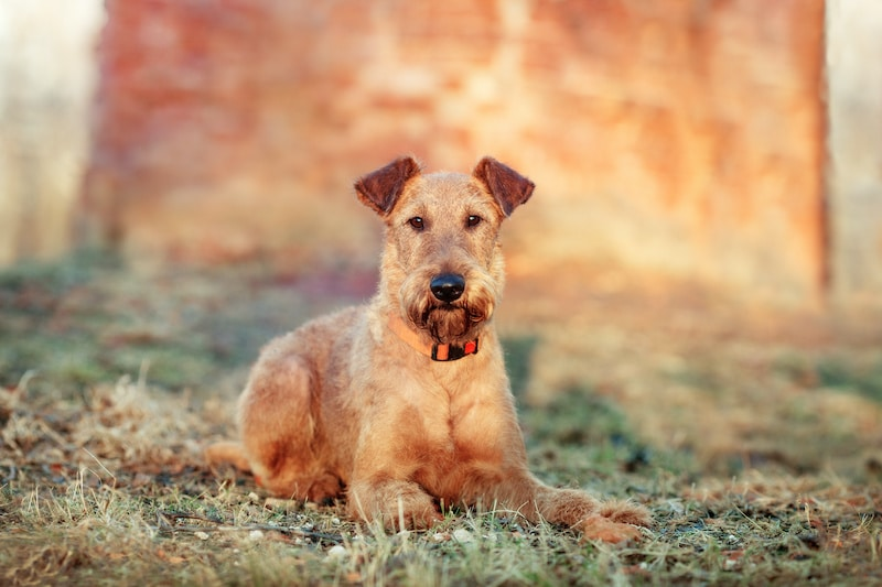 Red Irish Terrier laying down on grass against a brick wall in the park.