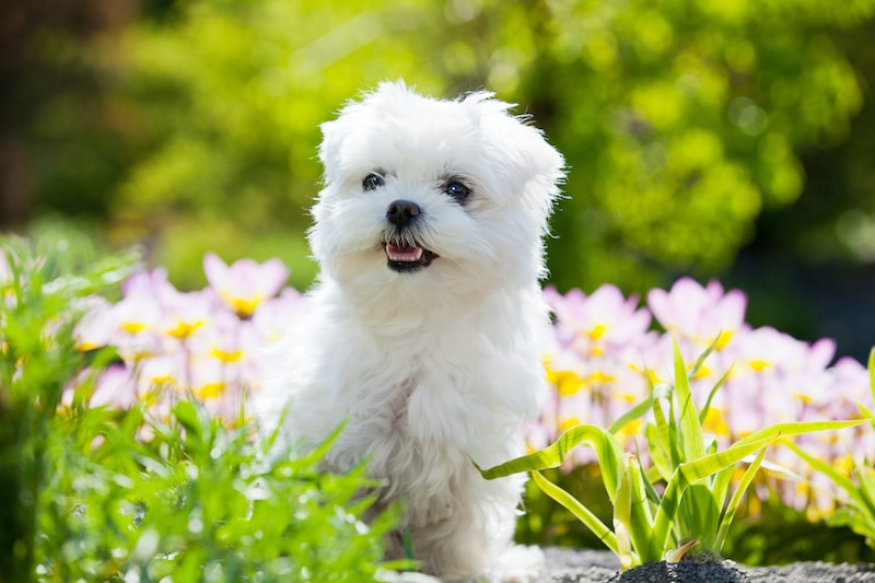 Beautiful young Maltese dog standing in garden surrounded by flowers.
