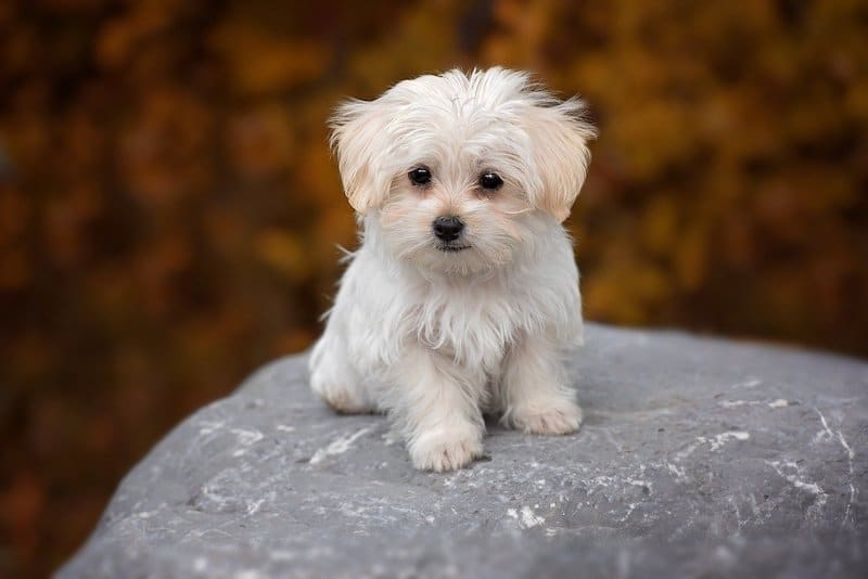 Cute Maltese puppy standing on large rock.