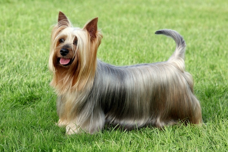 Silky Terrier with long hair standing on grass.