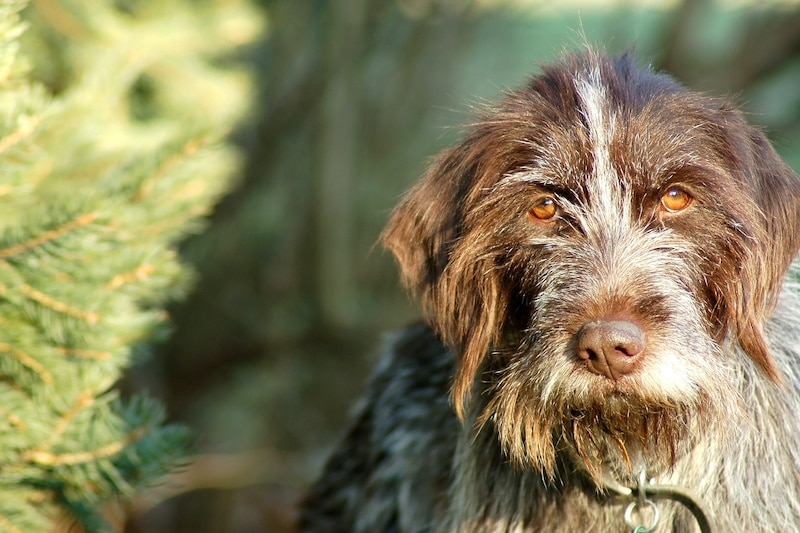 Wirehaired Pointing Griffon outside standing next to tree.