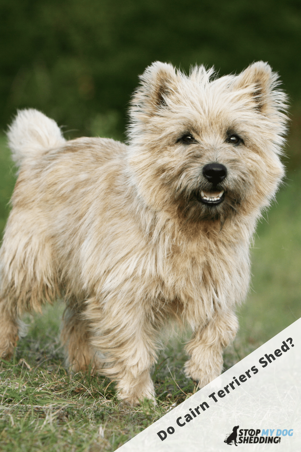 Cairn Terrier Shedding - What to Expect