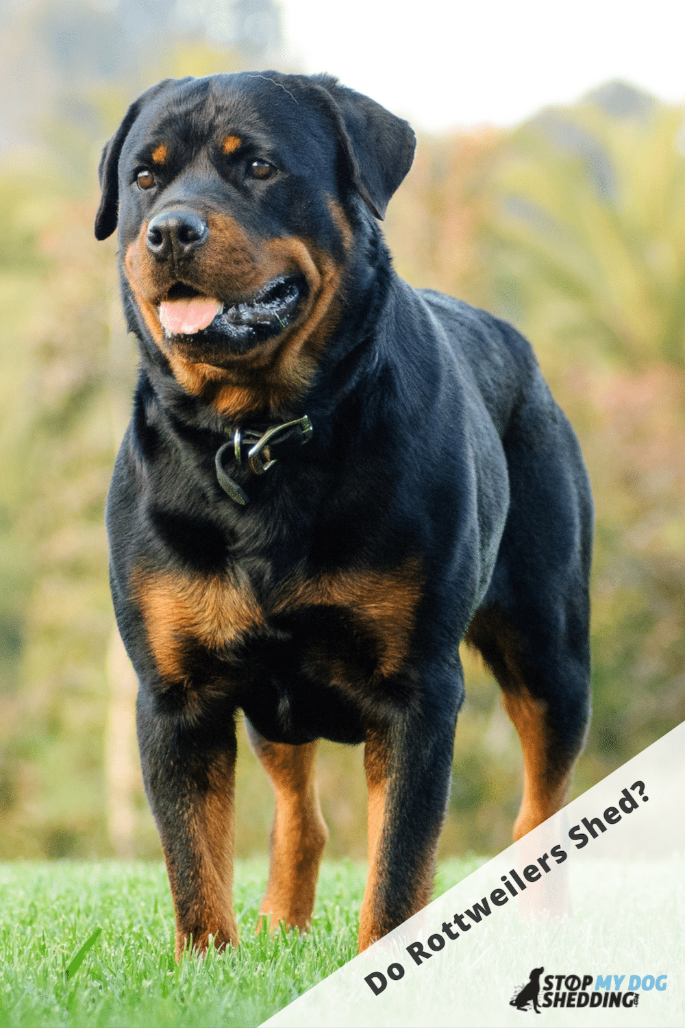 Do Rottweilers Shed? (Rottie Shedding Guide)