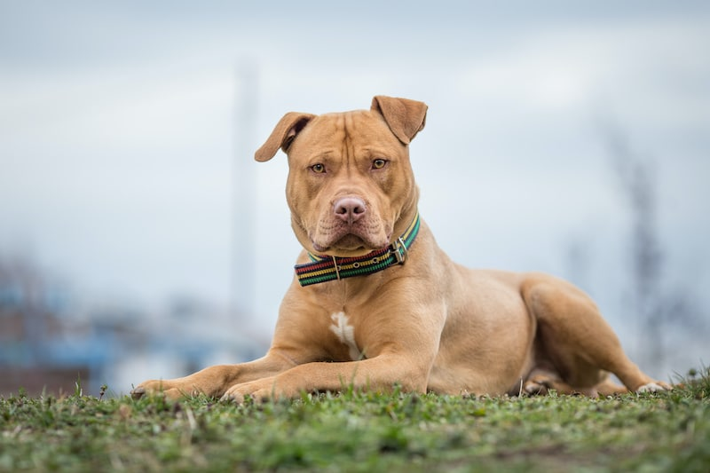 Yellow Pit Bull terrier dog lying on the grass