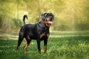 Beautiful portrait of a Rottweiler during spring standing in a green park.