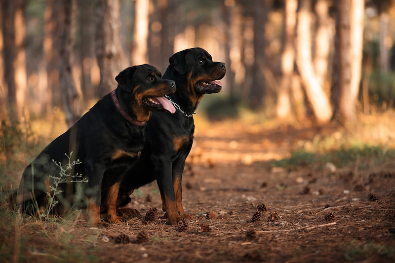 Two Rottweiler dogs sitting together in a beautiful forest.