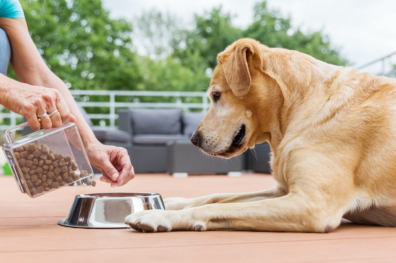 Woman gives her Labrador the dog food in a feeding bowl.