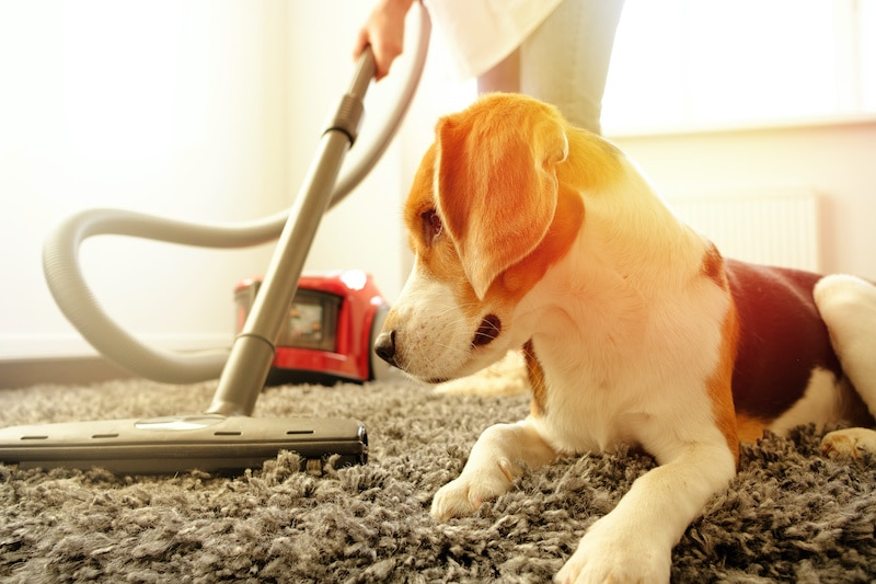 Woman vacuuming floor with a Beagle dog laying on the carpet next to her.