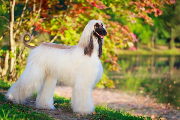 Afghan Hound dog breed with beautiful park in background.