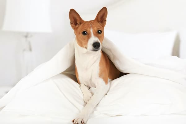 Basenji dog lying on the bed covered with a blanket in the bedroom.