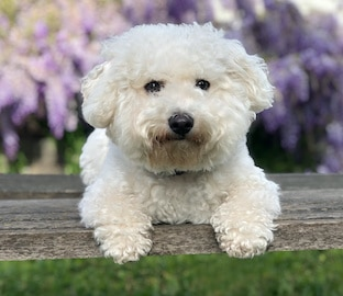 cute white fluffy Bichon Frise dog sits on wooden bench in front of lavendar wisteria vines.