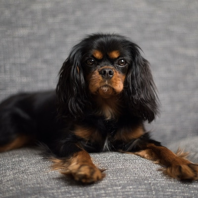 Cute Black and Tan Cavalier King Charles Spaniel on a gray sofa with red pillow.