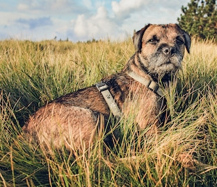 Border Terrier dog Lying in the Grass at Sunset