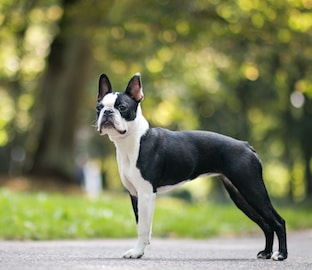 Boston Terrier dog standing on path with forest in background.