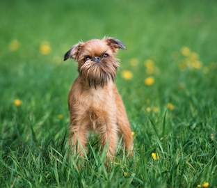 Brussels Griffon dog posing outdoors in summer.