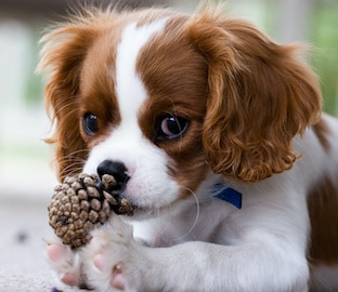 Cavalier King Charles Spaniel puppy holding pinecone with paws