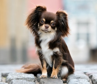 Adorable brown Chihuahua dog sitting on a paved street.