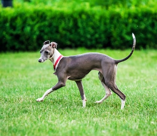 Italian Greyhound playing in countryside park.