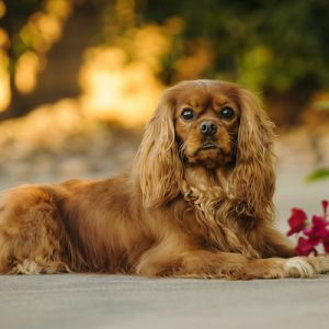 Ruby colored Cavalier King Charles Spaniel dog outdoor portrait lying down by red flowers.